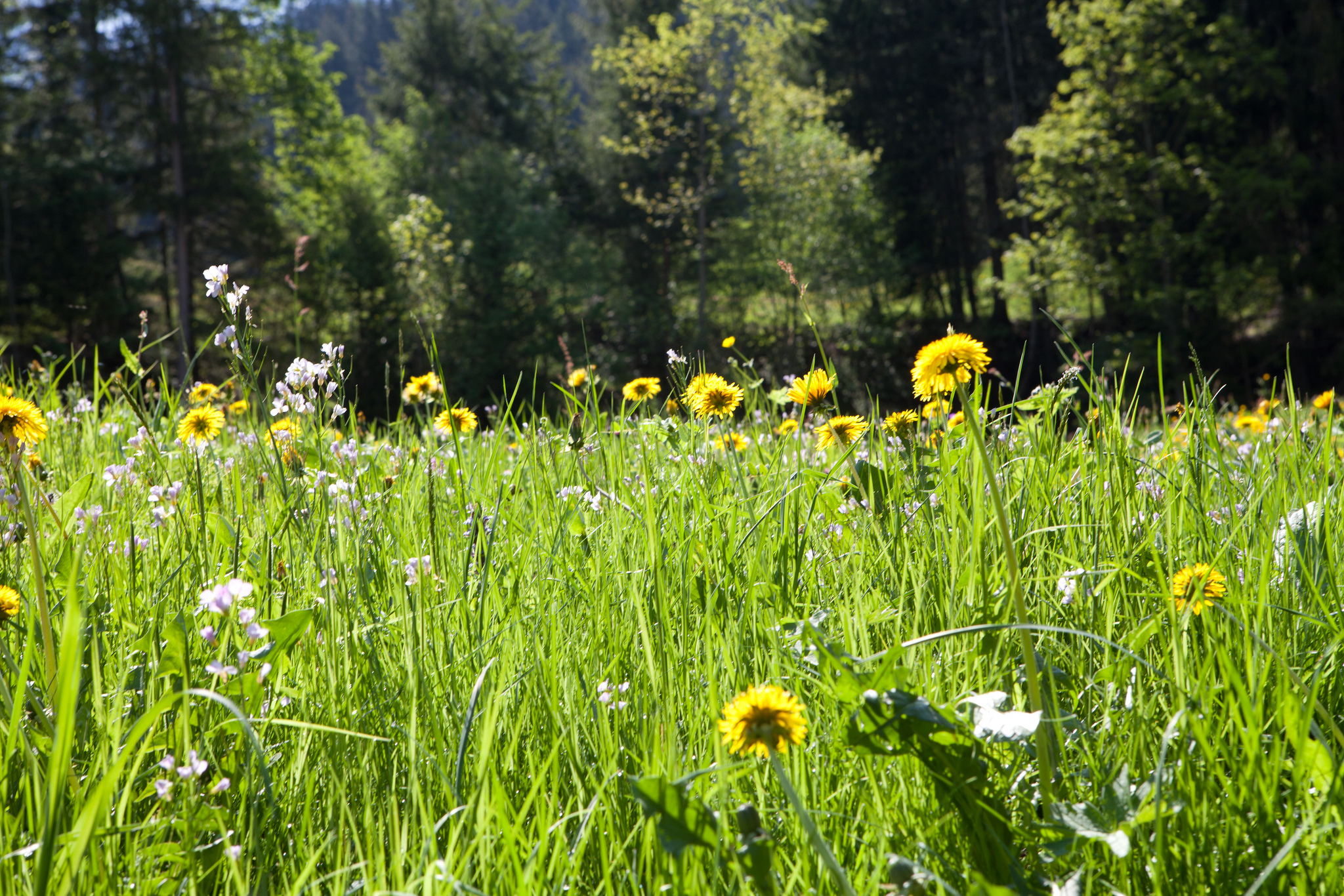 Swiss meadow flowers